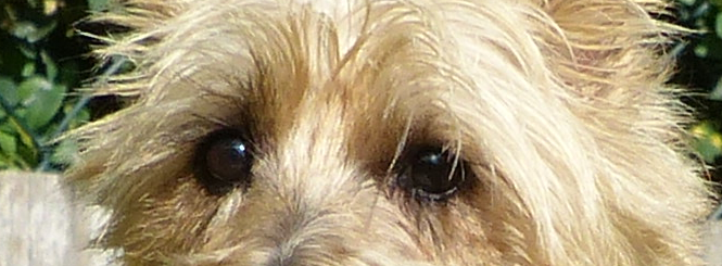 Cairn-Terrier_Maidls-Holly
